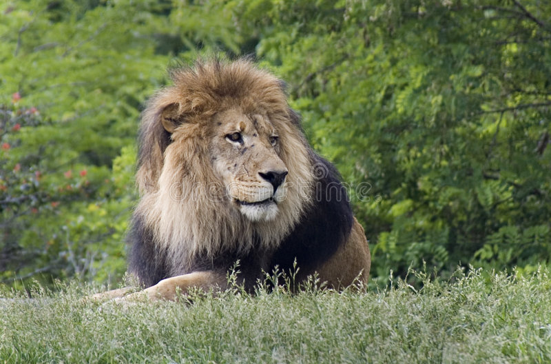 Download Male lion stock photo. Image of male, wildlife, game, lion - 161826
