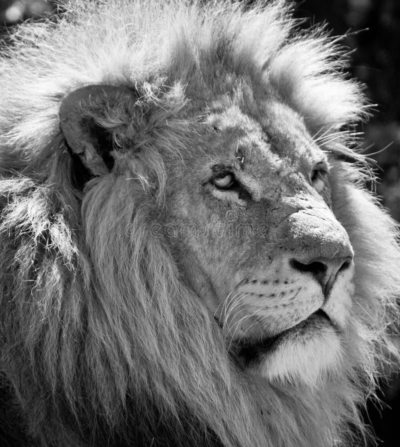 Free Male Lion Stock Photo - 16709220