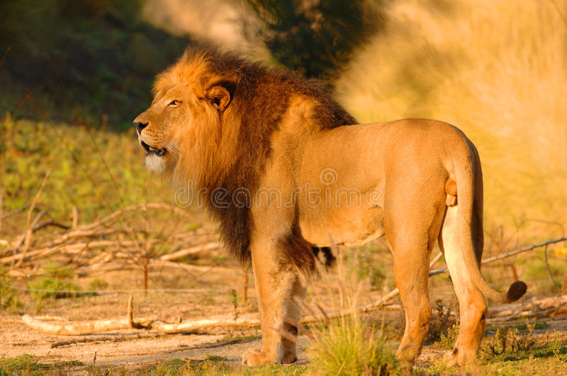 Download Male Lion Royalty Free Stock Photography - Image: 22456607
