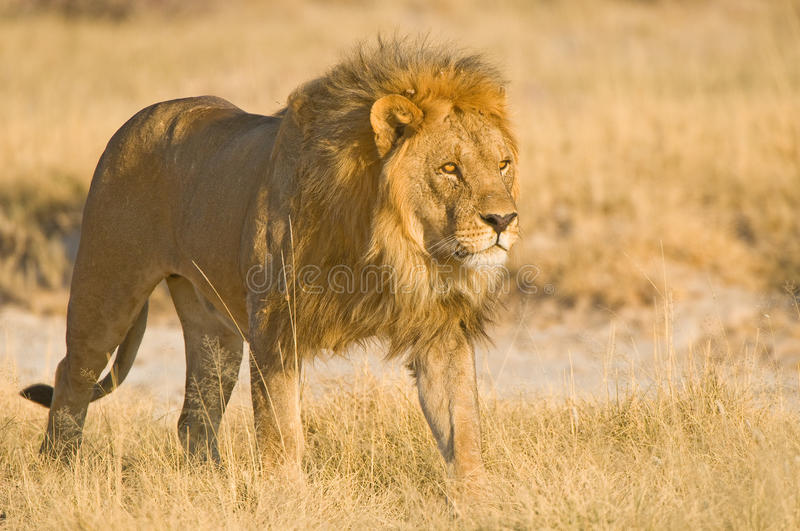 Download Male Lion Royalty Free Stock Photography - Image: 22761437