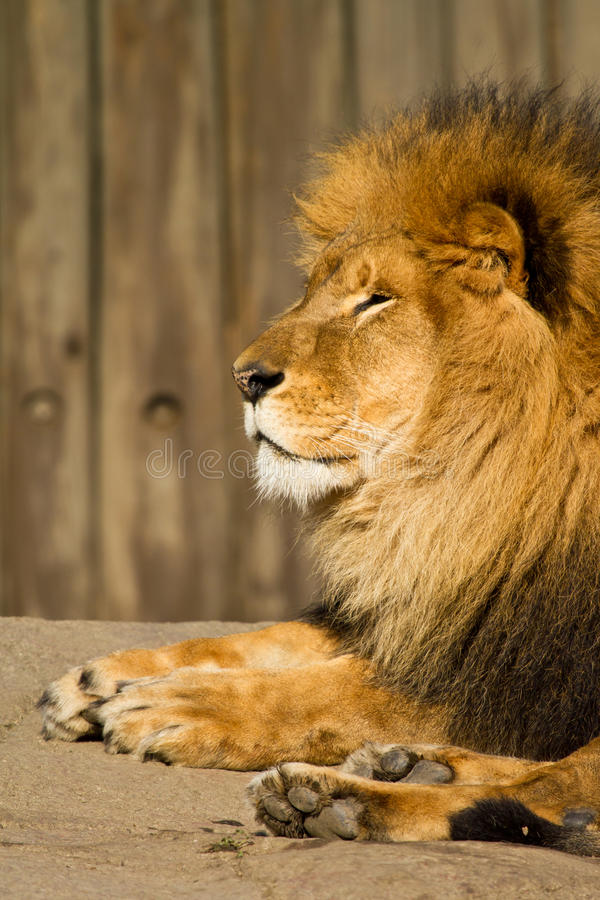 Download Male Lion stock photo. Image of mammal, captivity, working - 23977136