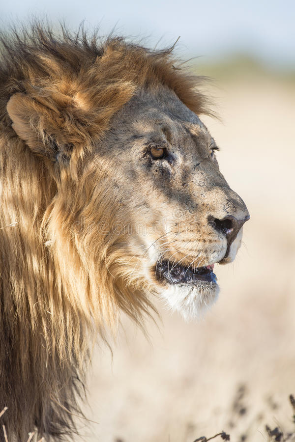 Download Male Lion Stock Photo - Image: 25645390