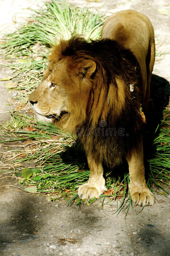 Download Male Lion stock image. Image of king, male, attitude - 27131313