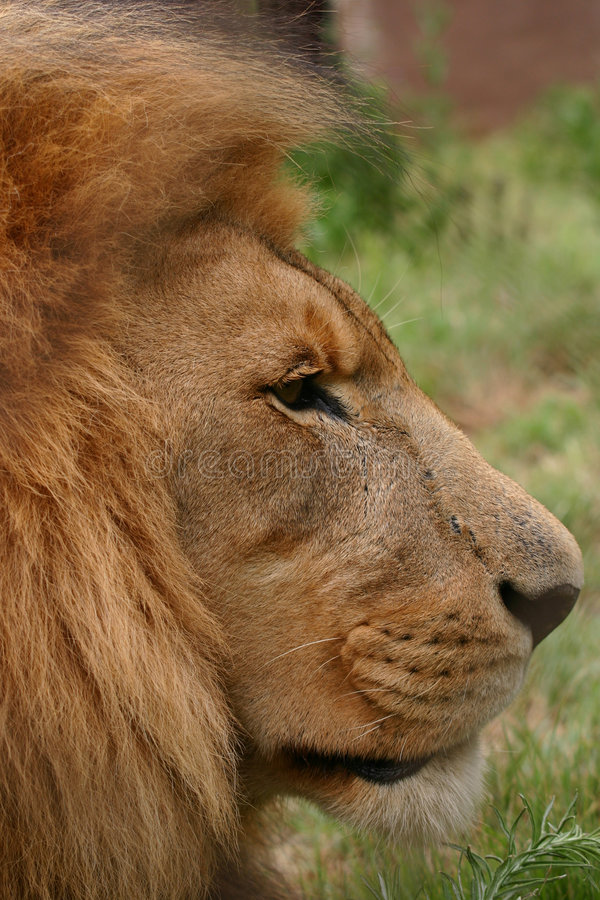 Download Male lion stock image. Image of five, danger, male, king - 432135
