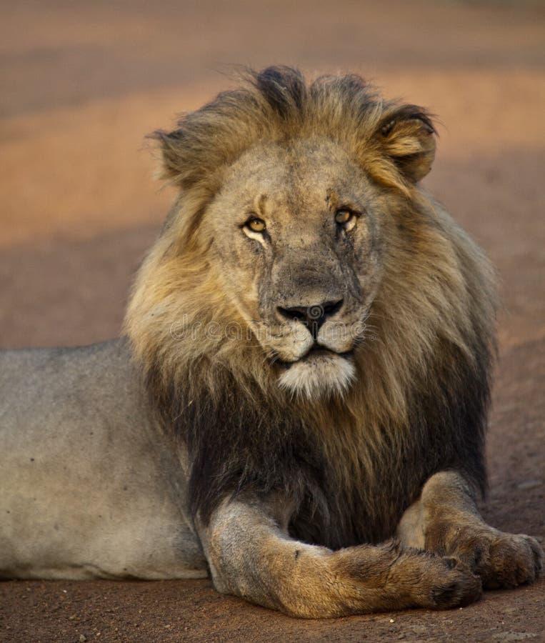 Free Male Lion Stock Image - 48678141