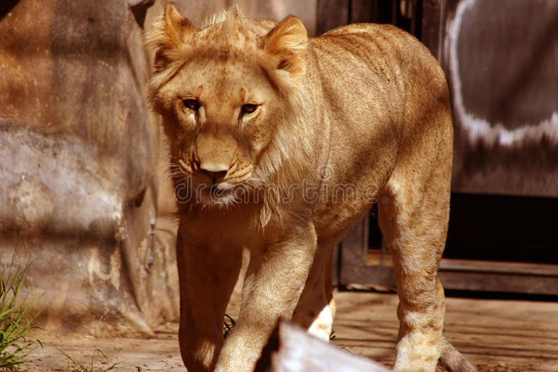 Male Lion Free Stock Photography