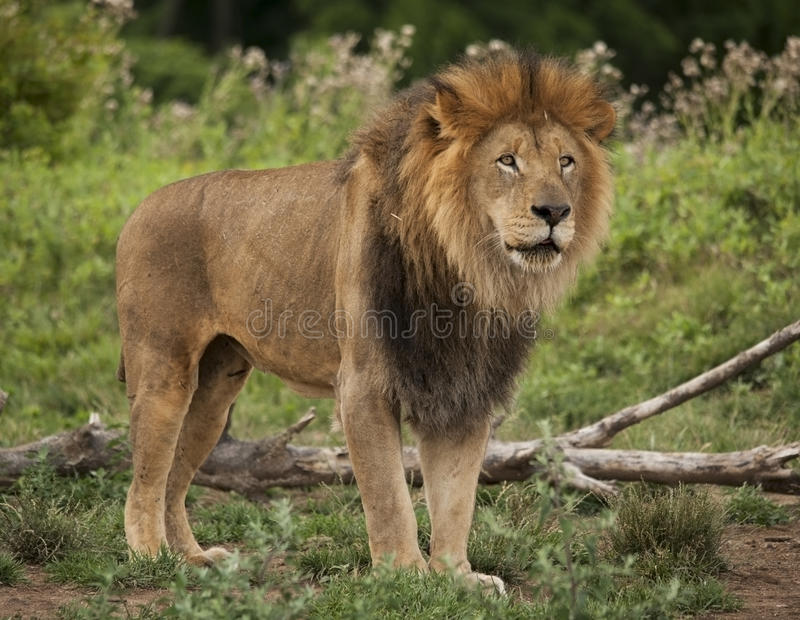 Male lion royaltyfri bild