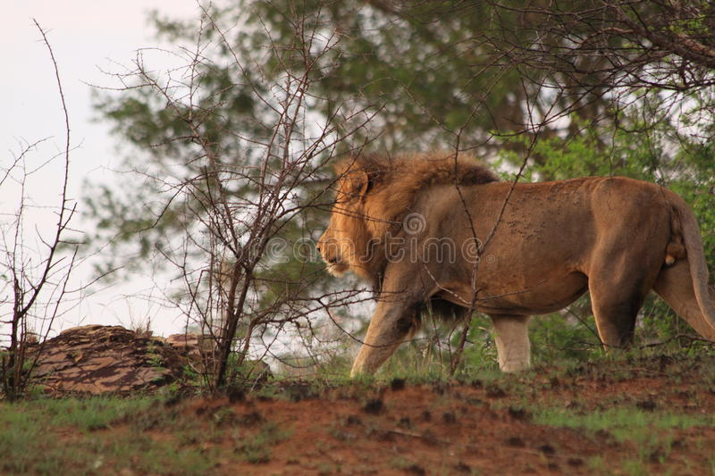 Wild male lion walking in the bush africa safari royalty free stock image