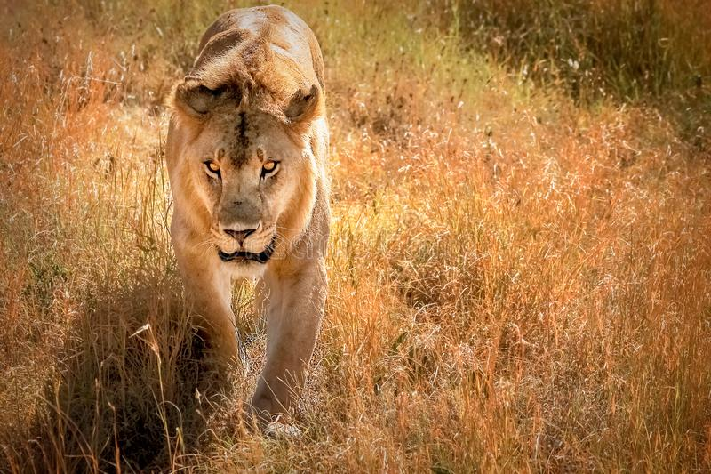 Male lion in the African savannah. Tanzania. stock images