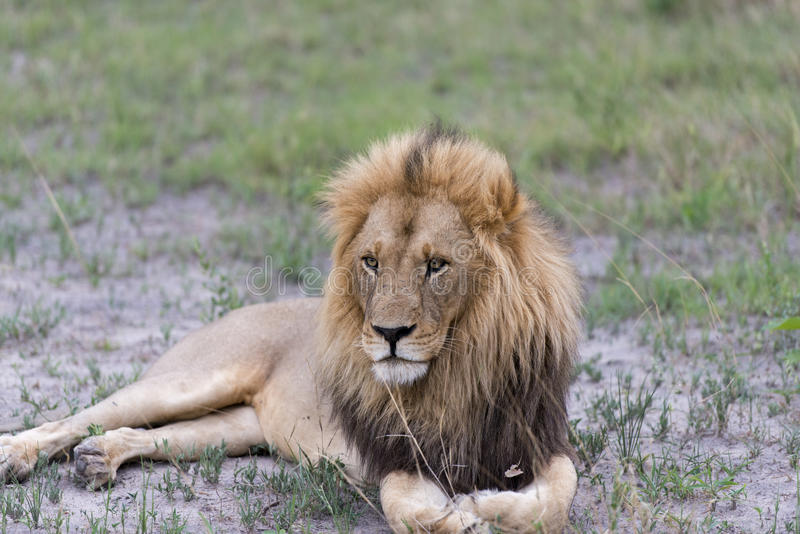 Download A Male Lion In The Afternoon Stock Image - Image: 28496089