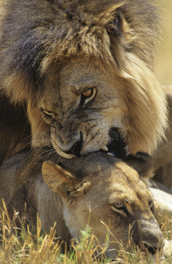 Download Male Lion Biting Lioness On Savannah Stock Photo - Image of animal, animals: 30846432