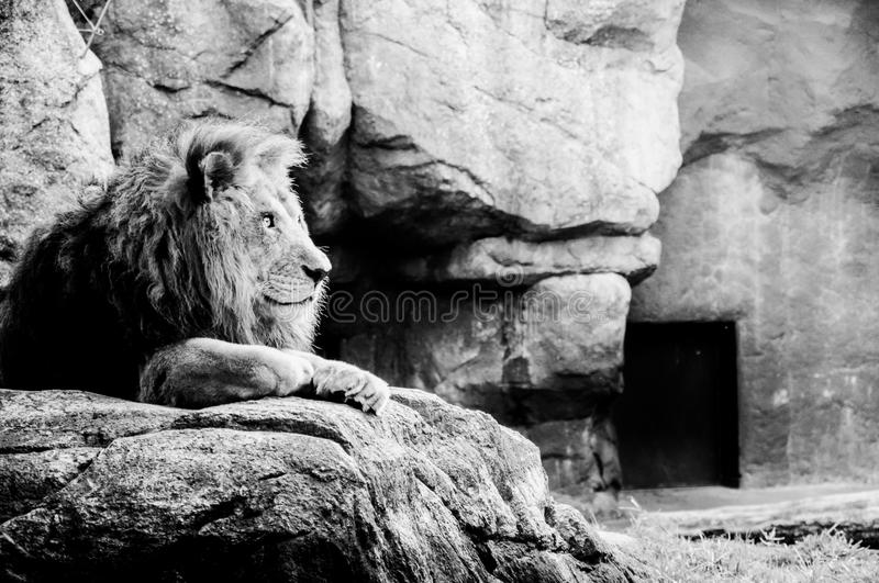 A male lion. In black and white stock photos