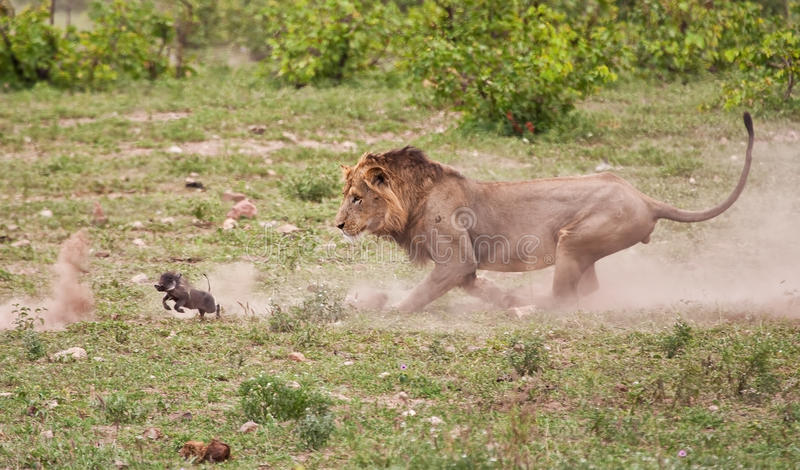Male lion chasing baby warthog stock images