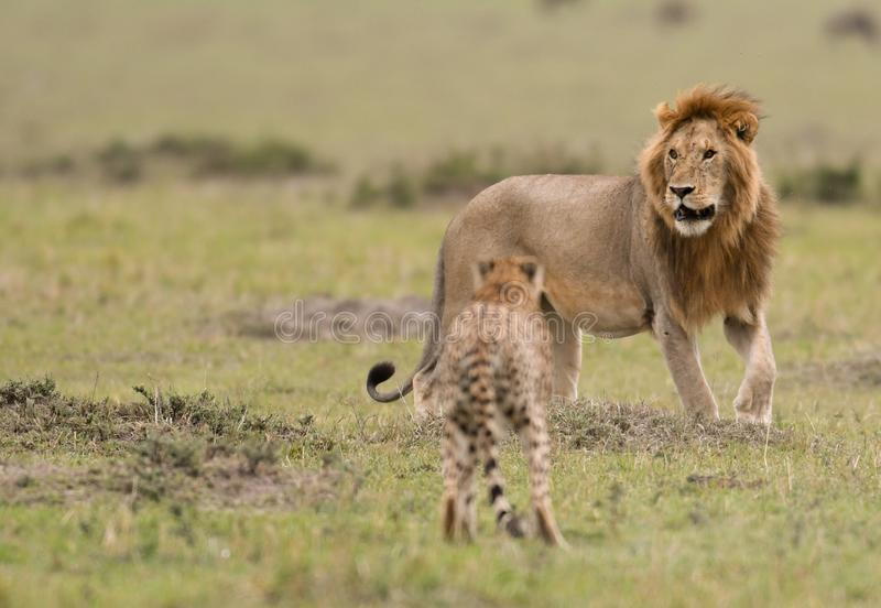 Male lion and cheetah in Masai Mara Gram Reserve, Kenya royalty free stock images