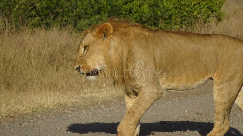A male lion crossing the road stock images