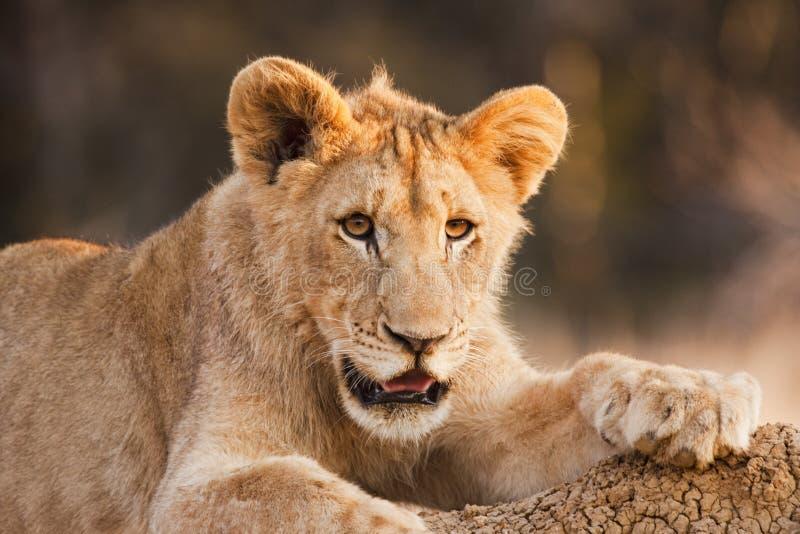 Male Lion Cub At Rest stock images