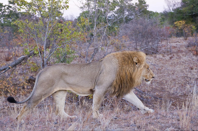 Download Male Lion at Daybreak stock photo. Image of bush, prime - 10732530