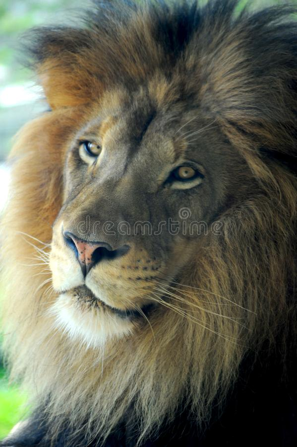 Male lion in deep thought about his next meal royalty free stock photo