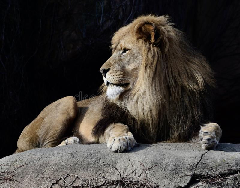 Male Lion  1. This is an early Spring morning picture of a male lion on a rock in his compound at the Lincoln zpark Zoo located in a Chicago, Illinois in Cook royalty free stock photo