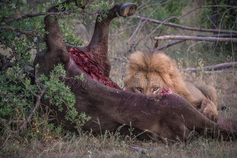 Male Lion eating buffalo kill royalty free stock photo