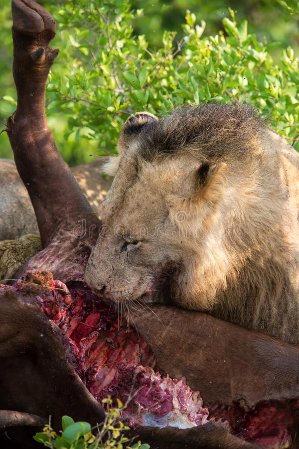 Male lion eating buffalo in nature hungry stock image