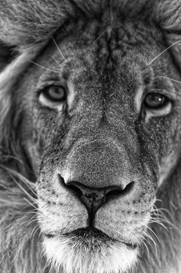 Free Male Lion Face Close-up Stock Image - 103806221