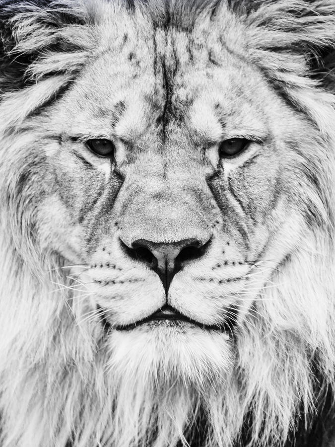 Male lion face. Close-up portrait of huge african feline. Black and white image stock photo