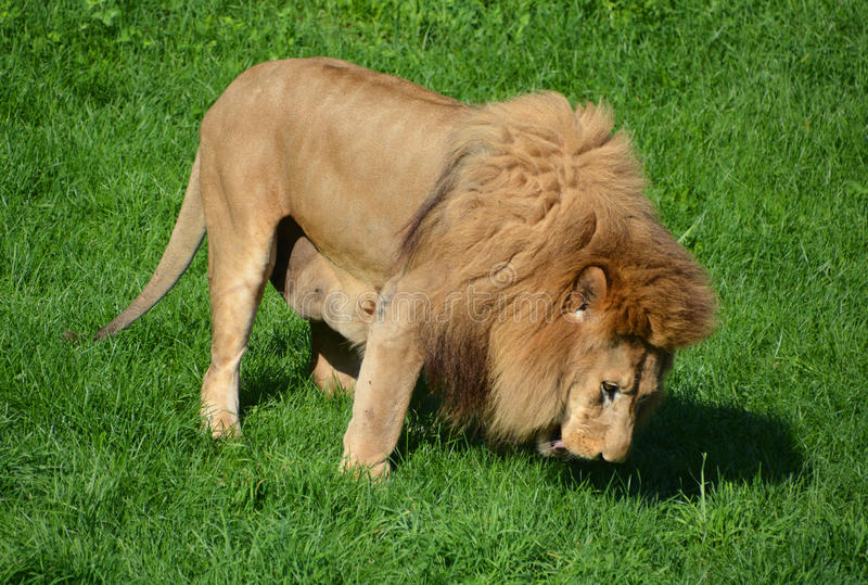 Male Lion Stock Photo Image Of Canine Africa Distinctive 98002088