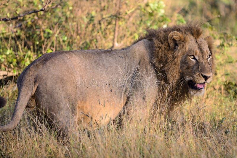 Male Lion in Kruger National Park. Male Lion stalks prey in Kruger National Park, South Africa stock images