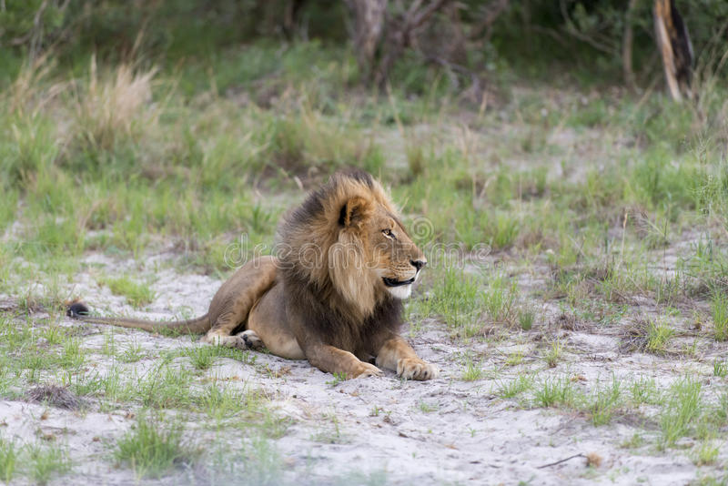 A male Lion in the late afternoon