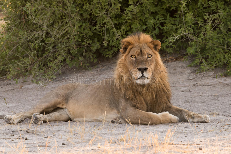 Male lion laying in shade royalty free stock photo