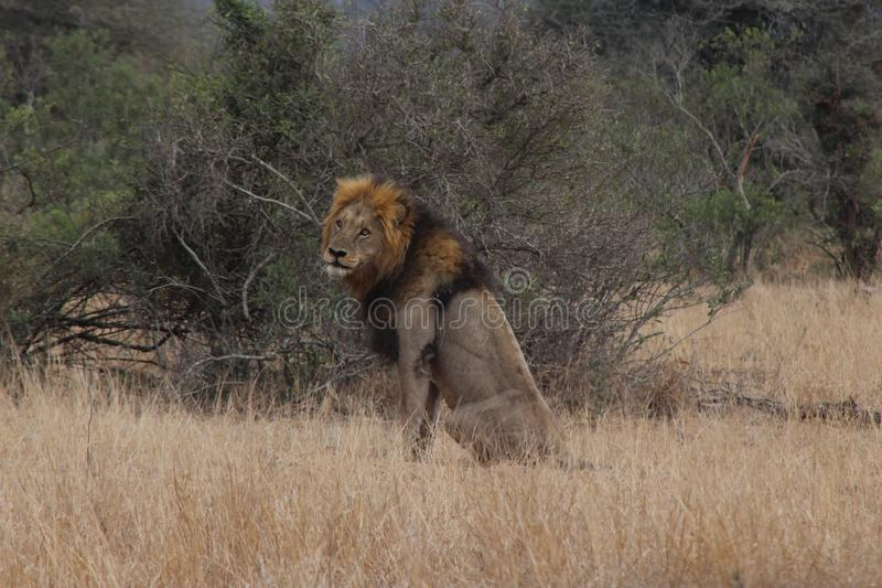 Male lion looking around for it`s next prey royalty free stock photo