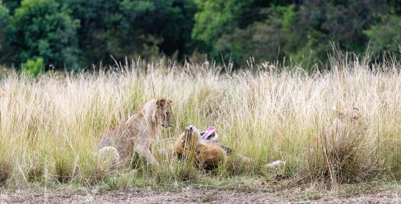 Father Lion and Curious Cub royalty free stock photography