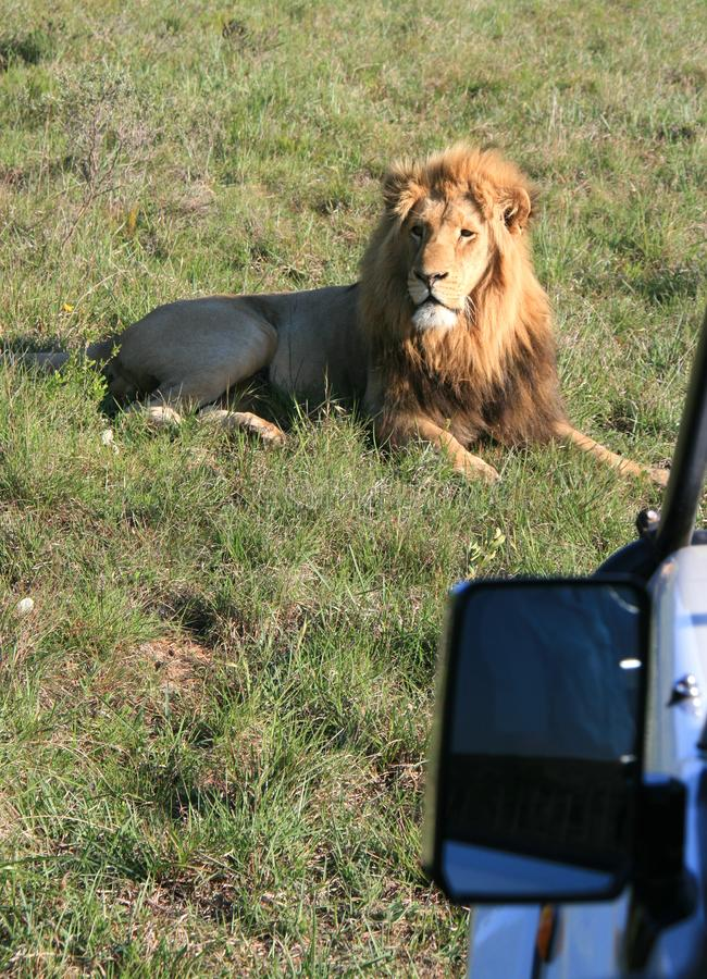 Male lion lying on green grass in South Africa with sunset side lighting with side mirror of photo safari vehicle royalty free stock images