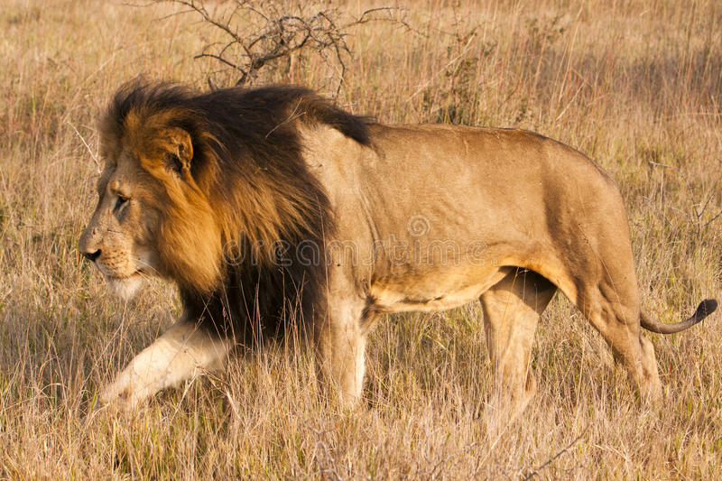 Male Lion On The Move Royalty Free Stock Images