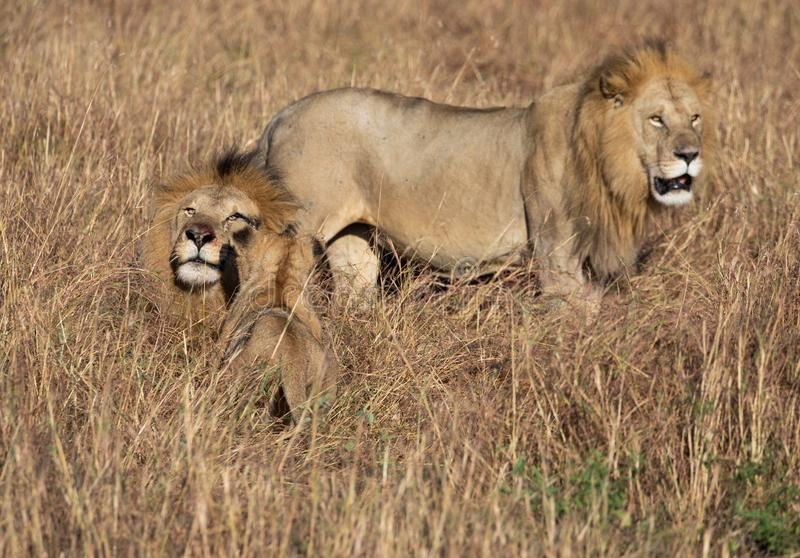 Male lion, Panthera leo, from the Sand River or Elawana Pride walking near cub and his brother, whose head is emerging from the ta. Ll grass of the Masai Mara royalty free stock images