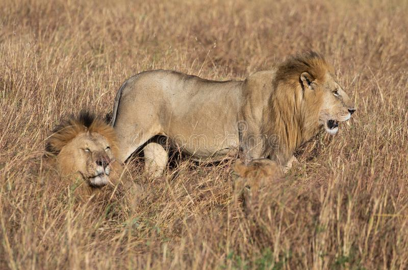 Male lion, Panthera leo, from the Sand River or Elawana Pride walking near cub and his brother, whose head is emerging from the ta. Ll grass of the Masai Mara royalty free stock photography