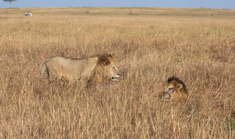 Male lion, Panthera leo, from the Sand River or Elawana Pride walking near his brother, whose head is emerging from the tall grass. Of the Masai Mara, in Keya stock images