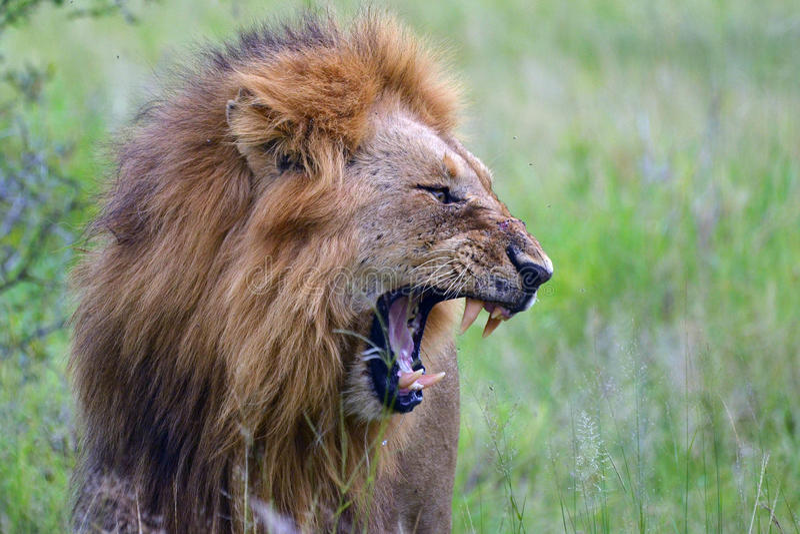 Male lion (Panthera leo) yawning royalty free stock photo