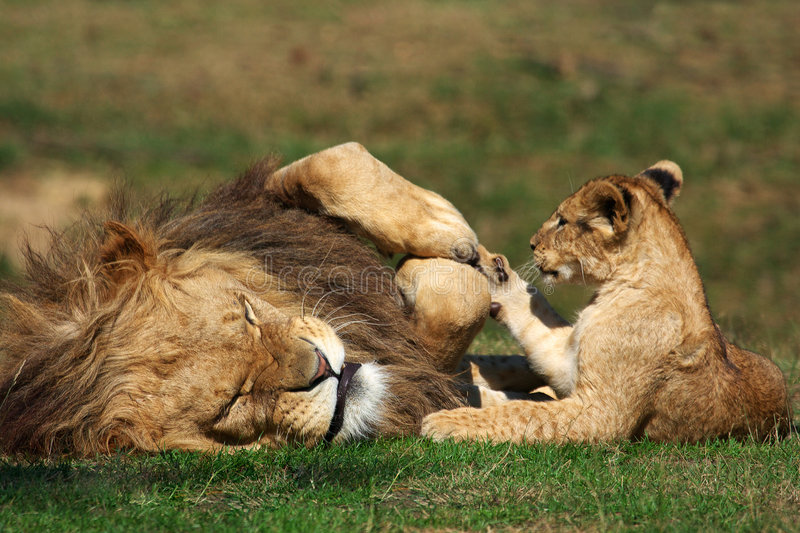 Male Lion playing with cub stock photos