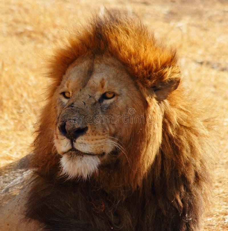 Male Lion Portrait. Stoic head shot of a male lion stock photography