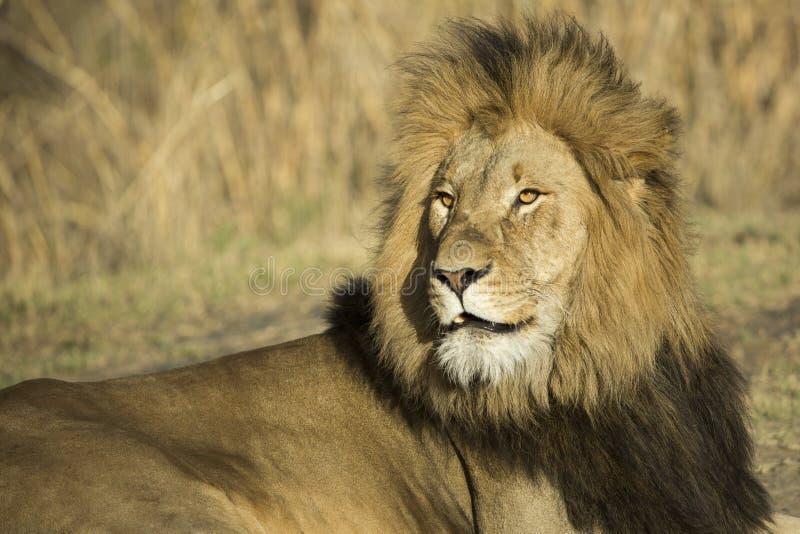 Male lion portrait stock image