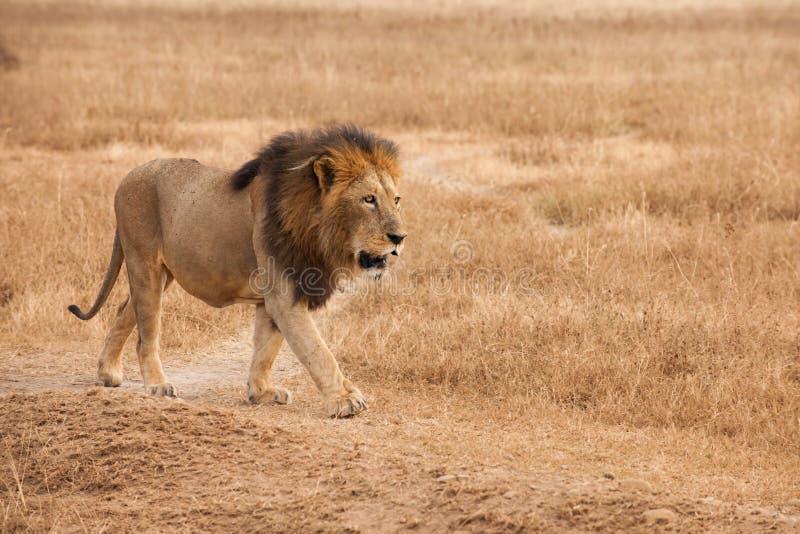 Male Lion, in Savanna of Ngorongoro Crater, Tanzania, royalty free stock image