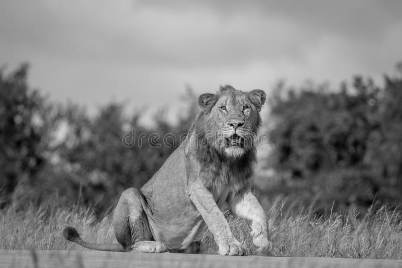 Male Lion sitting on the road. Male Lion sitting on the road in black and white in the Kruger National Park, South Africa royalty free stock photography