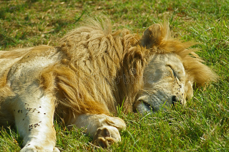 Male lion sleeps in South Africa. Magnificent male white lion sleeping in South Africa. There are many flies bothering him royalty free stock image