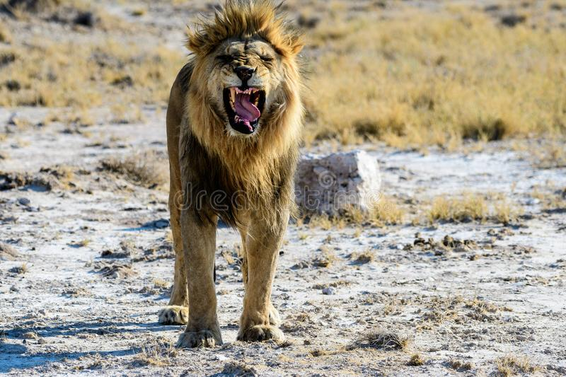 Male lion snarling trying to intimidate. Male lion trying to intimidate and to show aggression royalty free stock images
