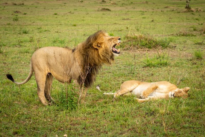 Male lion stands over lioness baring teeth stock images