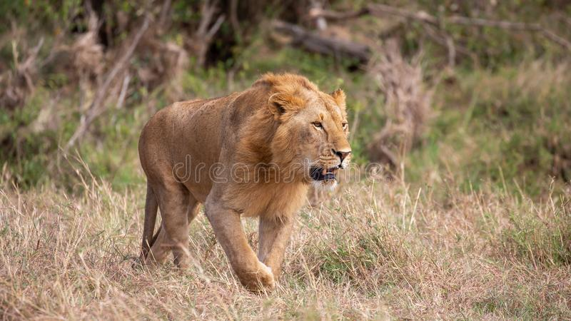 Male lion walking in the grass, Kenya. Male lion walking in the grass, Masai Mara, Kenya nature animal africa head wild mammal safari mane african big isolated stock photography