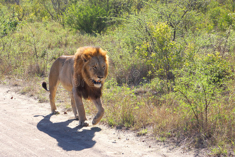 Male lion walking on road stock photography