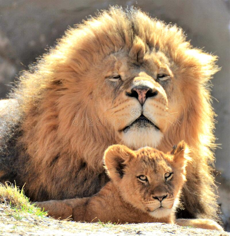 Free Male Lion Watching Over His Cub. Stock Photos - 188239743